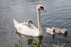 在池塘的天鹅家庭 免版税库存图片