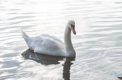 在池塘的天鹅 库存照片