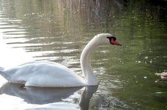在池塘的天鹅 免版税库存照片