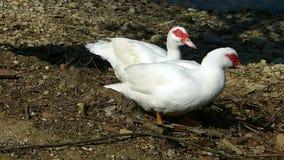 在池塘的岸的两只俄国鸭子 Cairina moschata 股票视频