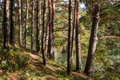 在池塘的岸的杉木 免版税库存图片