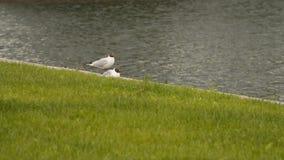 在池塘的岸的黑带头的鸥 影视素材
