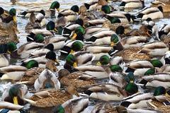 在池塘的很多鸭子 鸭子和雄鸭 免版税库存图片