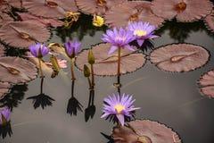 在池塘的明亮的紫色Waterlilies 免版税库存照片