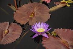 在池塘的明亮的紫色Waterlilies 库存图片