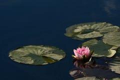 在池塘的桃红色荷花星莲属 库存照片