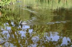 在池塘的欧亚老傻瓜 免版税图库摄影