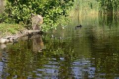 在池塘的欧亚老傻瓜 免版税库存照片
