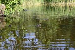 在池塘的欧亚老傻瓜 库存图片