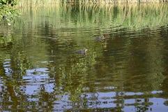 在池塘的欧亚老傻瓜 免版税库存图片