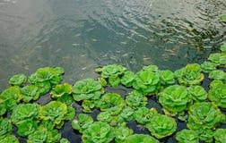 在池塘的水蕨 图库摄影