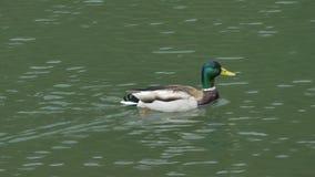 在池塘的游泳鸭子 股票录像