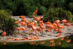 在池塘的火鸟 免版税库存图片