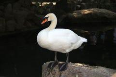 在池塘的白色天鹅在大石头关闭  免版税图库摄影