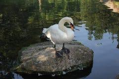 在池塘的白色天鹅在大石头关闭  库存照片