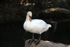 在池塘的白色天鹅在大石头关闭  库存图片