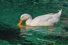 在池塘的白色鸭子 库存图片