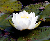 在池塘的白莲教 库存照片
