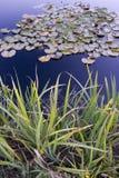 在池塘的百合叶子 免版税库存照片
