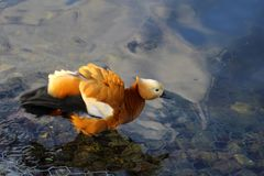 在池塘的红润shelduck 免版税库存图片