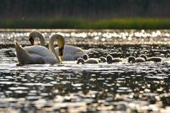 在池塘的美丽的天鹅崽 与野生动物的美好的自然色的背景 春天 免版税库存照片