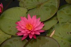 在池塘的美丽的桃红色Waterlilies 免版税库存照片