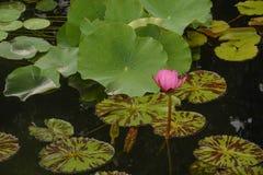 在池塘的美丽的桃红色Waterlilies 库存照片