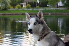 在池塘的美丽的西伯利亚爱斯基摩人狗 免版税库存图片