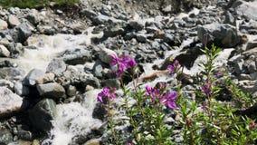 在池塘的背景的桃红色花 背景蓝色云彩调遣草绿色本质天空空白小束 开花可爱的粉红色 股票视频