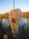 在池塘的芦苇 库存图片