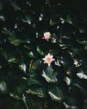 在池塘的花 免版税库存照片