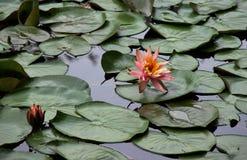 在池塘的荷花 库存图片
