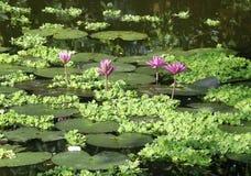 在池塘的莲花。 库存照片