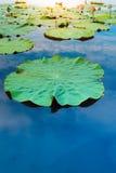 在池塘的莲花叶子 库存图片