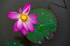 在池塘的莲花 免版税库存照片