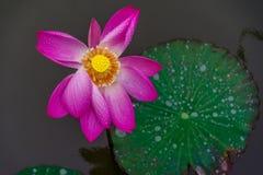 在池塘的莲花 免版税库存图片