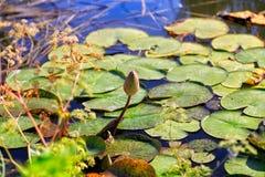 在池塘的表面的睡莲叶 库存照片
