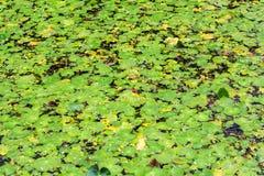 在池塘的表面的睡莲叶 库存图片