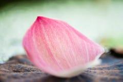 在池塘的软的焦点桃红色莲花的叶子 免版税图库摄影