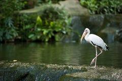 在池塘的边缘的空白白鹭 免版税库存图片