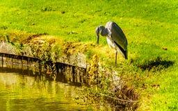 在池塘的边缘的苍鹭身分 库存图片