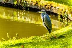 在池塘的边缘的苍鹭身分 免版税库存照片