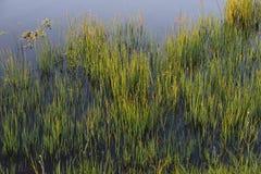 在池塘的边缘的草 免版税库存图片