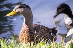 在池塘的边缘的附近鸭子 库存照片
