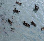 在池塘的野鸭鸭子 免版税库存照片