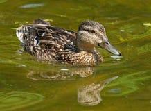 在池塘的野鸭 免版税库存图片