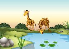 在池塘的长颈鹿饮用水 向量例证