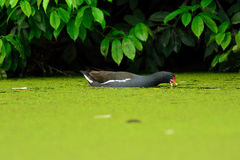 在池塘的雌红松鸡 免版税库存图片