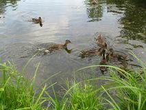 在池塘的鸭子吃食物 库存图片