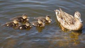 在池塘的鸭子家庭 库存图片